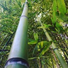 Certains des locatifs du camping en Dordogne Périgord Noir sont dans la forêt de bambous