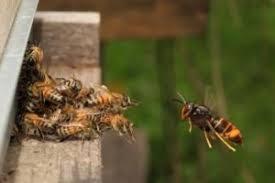 frelon asiatique prédateur des abeilles camping dordogne périgord noir le Douzou