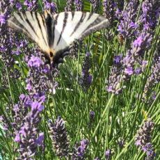 papillon lavande camping dordogne